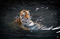 Bengal Tiger in Water (13290323163).jpg