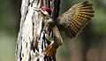 Bennett's Woodpecker, Campethera bennettii at Marakele National Park, Limpopo, South Africa ( male displaying) (16093231038).jpg