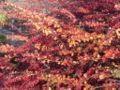 Berberis linearifolia1.jpg