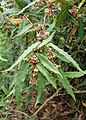 Berberis veitchii kz02.jpg