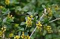 Berberis vulgaris 12.jpg