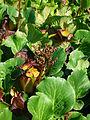 Bergenia cordifolia 2007-06-02 (flower).jpg