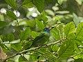 Bird Blue throated barbet 02.jpg