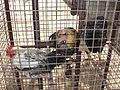 Birds in a cage.JPG