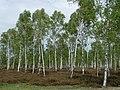 Birkenwald in der Reicherskreuzer Heide.jpg