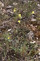Biscutelle commune-Biscutella laevigata-Calvisson-20140804.jpg