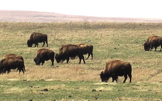 Tallgrass Prairie Preserve - In March bison graze the new green grass in areas of the preserve which were burned the previous fall.