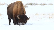 Datei:Bison bison grazing in snow (Yellowstone).ogv