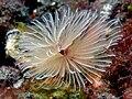 Bispira sp. (Feather duster worm).jpg