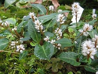 <i>Bistorta tenuicaulis</i> species of plant