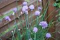 Blühender Schnittlauch - Flickr - blumenbiene (2).jpg