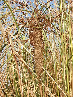 Black-breasted weaver - Nest suspended from grass, India