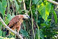 Black-collared Hawk - Gavilán Colorado (Busarellus nigricollis nigricollis) (24243663050).jpg
