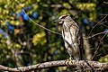 Black-crowned Night-Heron (Imm) Guaco (Juv) (Nycticorax nycticorax hoactli) (12531594363).jpg
