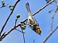 Black-throated Green Warbler Dendroica virens (6789349993).jpg