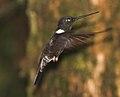 Black Inca (Coeligena prunellei) (8079735186).jpg