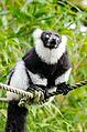Black and white Ruffed Lemur (24423479584).jpg