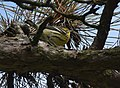 Blackburnian Warbler (29487929022).jpg