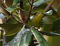 Blackburnian Warbler (29597828335).jpg