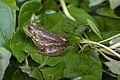 Blacklick Woods - Lithobates catesbeianus 3.jpg