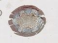 Blattodea (YPM IZ 098973) 007.jpeg