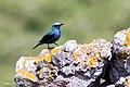 Blauwe-rotslijster-2 (15144857753).jpg