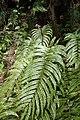 Blechnum novae-zelandiae kz5.jpg
