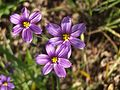 Blue-eyed Grass (2310721984).jpg