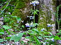 Blue-white-flowers-base-tree - West Virginia - ForestWander.jpg