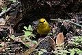 Blue-winged Warbler (male) Sabine Woods TX 2018-04-21 12-21-57 (41253107924).jpg