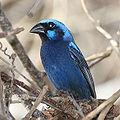 16 / Blue Bunting