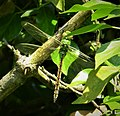 Blue Emperor, immature female. Anax imperator (44131517291).jpg