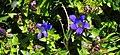 Blue Gentian-Gifford Pinchot (26686932752).jpg