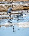Blue Heron (16999045166).jpg