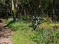 Bluebells, Hawkshead Wood, Herts.jpg