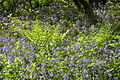 Bluebells in Draynes Wood (4036).jpg