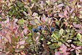 Blueberries Yum! (4832127771).jpg