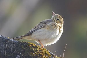 Blyth's pipit - From Pangolakha Wildlife Sanctuary in East Sikkim, India