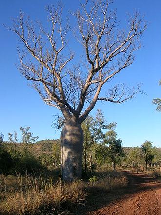 Adansonia gregorii - Image: Boab, Timber Creek, NT Melissa Jamcotchian