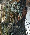 Bois mort lichens fungi 0155 zoom.jpg