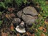 Boletopsis nothofagi habitat.jpg