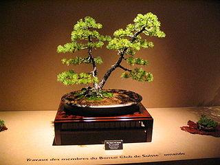 Bonsai IMG 6424.jpg