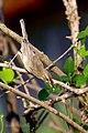 Booted Warbler (Iduna caligata) ചിന്നൻ ഭേരി. (31869621563).jpg