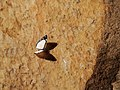 Borboleta branca Parque Nacional.jpg