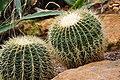 Botanischer Garten der Universität Zürich - Echinocactus grusonii Hildmann (Goldkugelkaktus) 2010-09-16 15-39-54.JPG