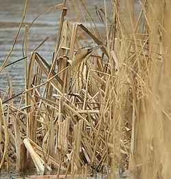 Le butor étoilé est presque invisible dans les roseaux, grâce à son plumage qui lui sert de camouflage