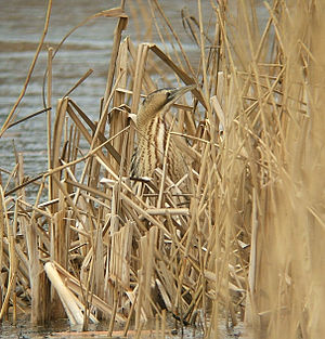 Eurasian bittern - A bittern, well camouflaged in typical reed bed habitat