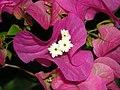 Bourganvilla flower.jpg