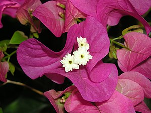Bougainvillea glabra flower. Picture taken in ...