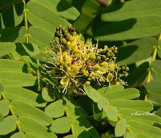 Brachystegia boehmii - Brachystegia boehmii foliage and flowers (Mufuti tree)